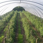 Aerial view of a raspberry tunnel