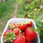 Vibrant strawberries